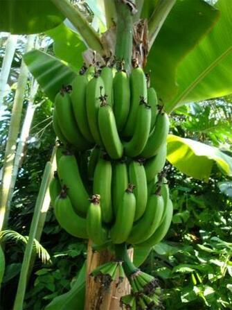banana tree by aoi kaminari photography animals plants nature flowers