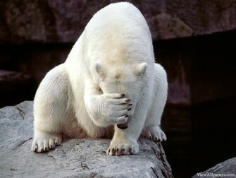 Frustrated Polar Bear Animal Planet   Wallpaper