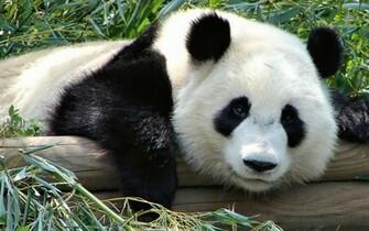 Funny Panda 1920x1200 WallpapersPanda Wallpapers Pictures