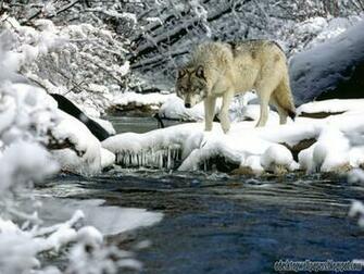 Wolf Animal Desktop Wallpapers