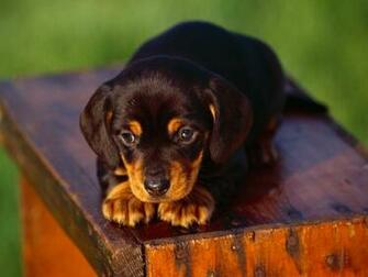 Lovely Bosnian Coarse haired Hound puppy photo and wallpaper