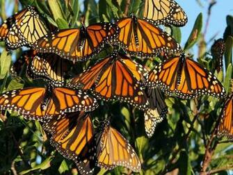 Monarch Butterfly Migration HD Wallpaper Background Images