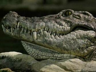 Crocodile wallpaper   1600x1200   213052