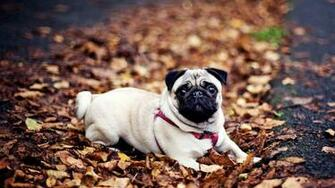 pug hd wallpaper cute desktop background hd wallpapers of pug dog