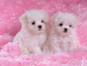 Cute Dogs and Puppies For Sale   wallpaper