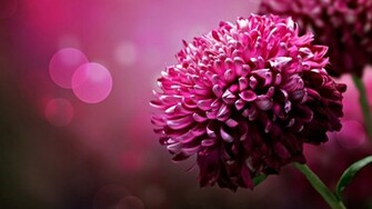beautiful flower desktop wallpapers