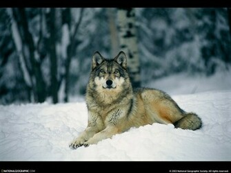 Resting Gray Wolf Picture Resting Gray Wolf Desktop Wallpaper