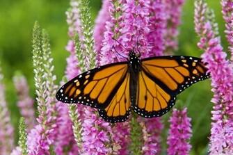 Monarch Butterfly Wallpapers wallpaper wallpaper hd background