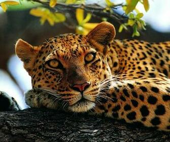 Calm leopard on a wood   Wild animal