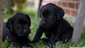 Cute Labrador Puppies wallpaper   820707
