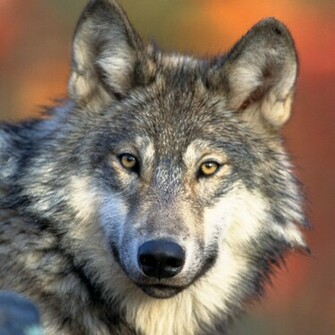 Gray Wolf Wallpaper for iPad and Galaxy Tab   Tablet iPad Wallpapers