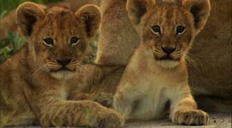 Lion Cubs wallpaper   Click picture for high resolution HD wallpaper