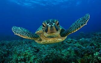 Sea turtle wallpapers and images   wallpapers pictures photos