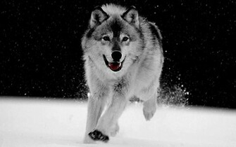 Big Wolf Gray Wallpaper