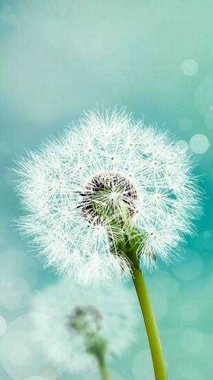 Dandelion flower Samsung HD wallpaper 1080x1920