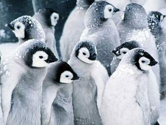 Cute Baby Penguins wallpaper 1600x1200 45966