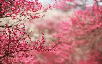 Color of Nature Pink Cherry Blossoms HD Nature Wallpaper Vvallpaper