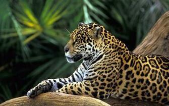Jaguar Wallpaper   Amazon Rainforest Wallpaper 33125157