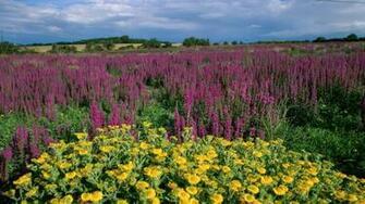 Lavender field wallpaper 2455