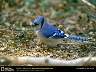 Blue Jay Picture Blue Jay Desktop Wallpaper Wallpapers