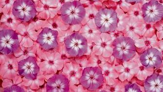 Flower Desktop Background Pictures with Pink and Purple Flowers HD