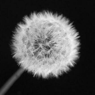 Dandelion Black And White Dandelion black and white