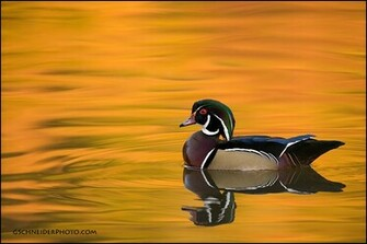 Wood Duck Wallpaper Wood duck reflections by