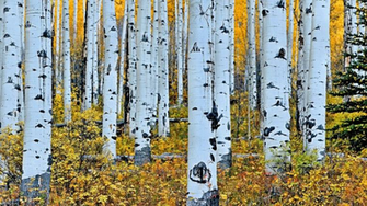 aspen trees wallpaper