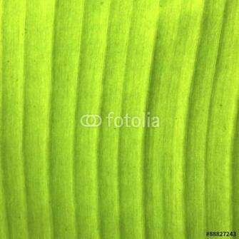 Texture background of backlight fresh banana palms green Leaf Stock