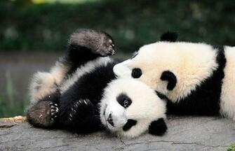 Panda Bear Links