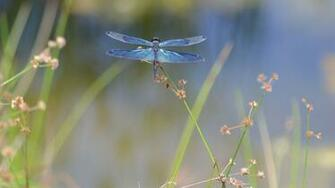 Dragonfly Backgrounds Download