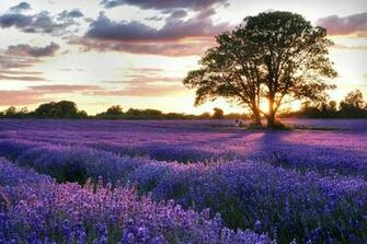 field lavender Lavender Field Nature Fields HD Desktop Wallpaper