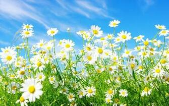 widescreen daisy media spring wallpaper   ForWallpapercom