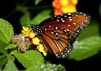 butterfly wallpaper hd pink butterfly wallpaper hd blue butterfly hd