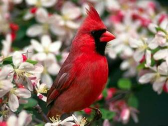 Northern Cardinal Wallpapers HD Wallpapers