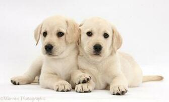 Yellow Labrador Retriever Puppy HD Wallpaper