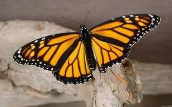 Monarch Butterfly 3 Cool Wallpaper Wallpaper