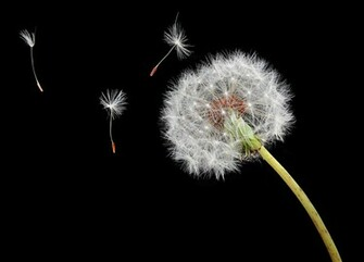 Dandelion Seed In Web Nature Wallpaper Featuring Flowers And Plants