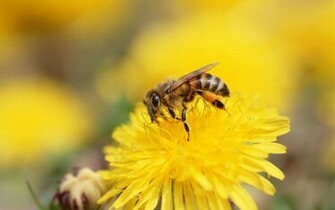 download 1680x1050 Icelandf bee flower and bee wallpaper