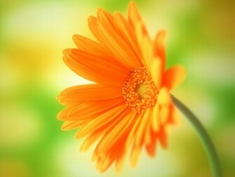 flowers for flower lovers Daisy flowers HD desktop wallpapers