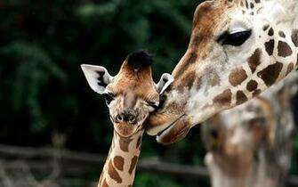 Cute wallpaper of giraffes HD Animals Wallpapers