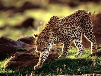 Wild Animal Wallpaper Wild AnimalFunny AnimalMating VideosPictures