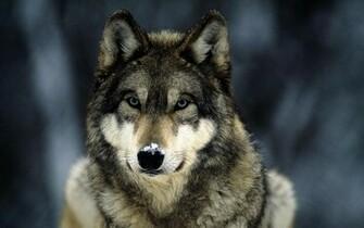 grey wolf snow grey wolf snow 1680x1050jpg