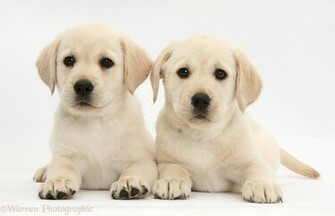 Yellow Labrador Retriever Pu