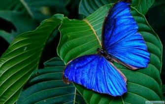blue colorful butterfly nature hd wallpaper HD Wallpapers