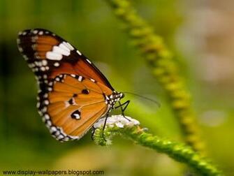 Wallpapers Download Butterfly Desktop Wallpaper HD