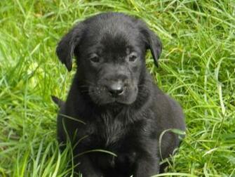 Pictures Of Black Labs Puppies   Desktop Backgrounds