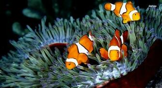 23 Clownfish HD Wallpapers Backgrounds Wallpaper Abyss