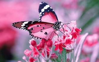 Pink Butterfly Wallpaper   35 Group Wallpapers