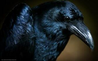 Download wallpaper bird raven macro desktop wallpaper in the